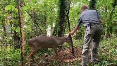 VIDEO: Wildlife officer rescues deer stuck on tree in Roswell