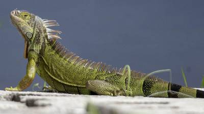 Man arrested after police say he tried to sell duct-taped iguanas from SUV