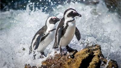 Endangered African penguins killed in apparent bee swarm