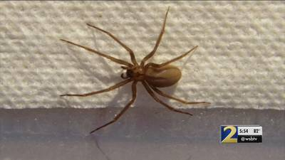 Beware of brown recluse spiders this summer! Here's what you need to know
