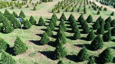 More Americans are buying Christmas trees this year. Here's a look at Georgia's crop