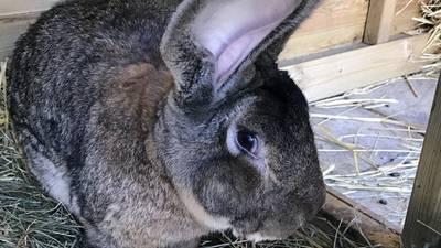 Hemorrhagic disease found in rabbits at a home in DeKalb county