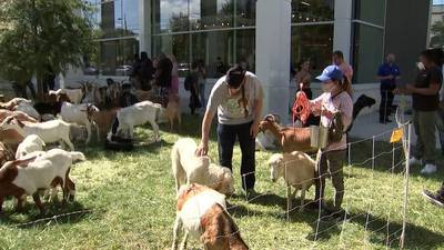 Goats get loose, visit Buckhead Rooms to Go store