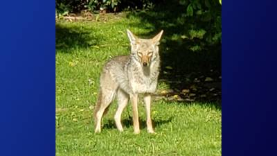 Metro residents are reporting seeing coyotes roaming in their neighborhoods