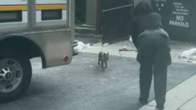 Mother describes frightening moment fox attacked her son outside American Deli