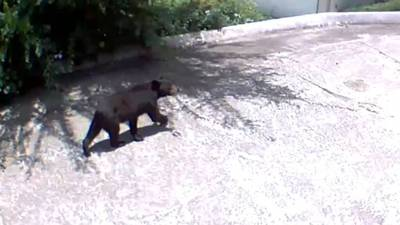 Surveillance video catches bear wandering down homeowner's driveway in Sandy Springs