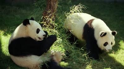 Zoo Atlanta streams Panda Cam, more things to do at home