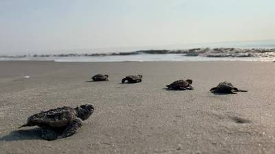 Baby sea turtles head to the ocean on Little St. Simons Island