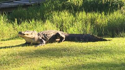One of the biggest, and likely oldest, gators of the Okefenokee Swamp has died