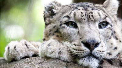 Snow leopards: What you need to know