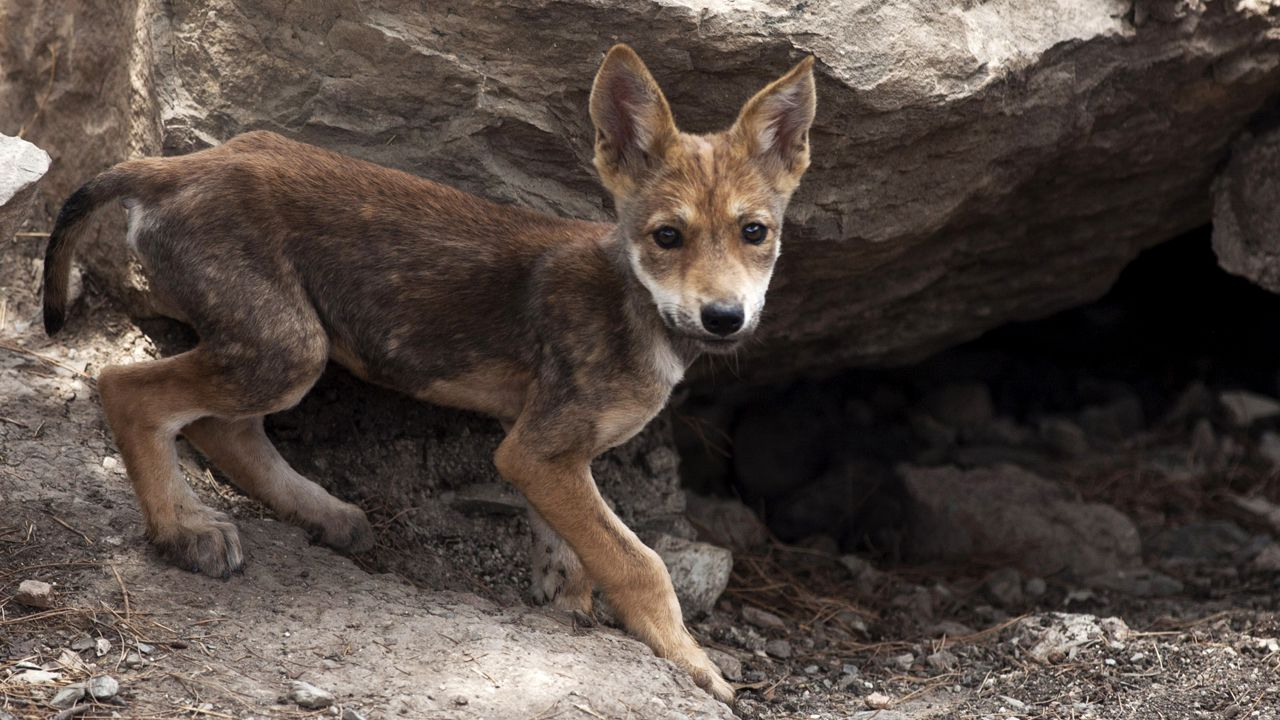 6 Mexican gray wolf pups born at Texas' El Paso Zoo
