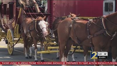 Whistleblower says iconic Wells Fargo horses were drugged, abused
